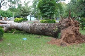 Prefeitura vai retirar três árvores que ameaçam segurança da população