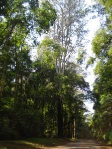 Clonagem vai recuperar espécie rara derrubada em vendaval na Floresta