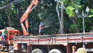 Três árvores condenadas estão sendo removidas do Jardim Público