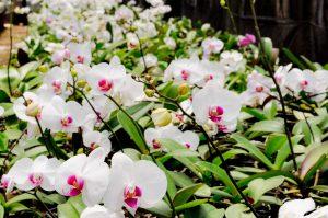 Exposição de orquídeas começa na sexta em Rio Claro