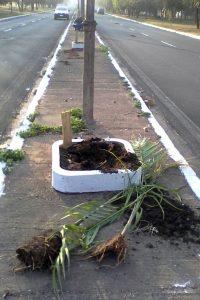 Palmeiras plantadas por crianças são destruídas por vândalos