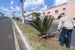 Canteiro Central da Avenida 32  recebe plantio de palmeiras fênix